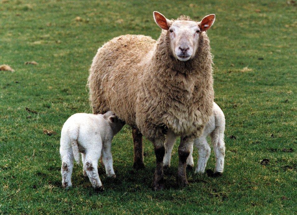 Careful ewe feeding the key to successful lamb production